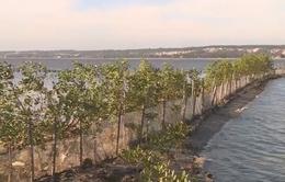 Thừa Thiên Huế: Trồng cây ngập mặn bảo vệ hồ nuôi thủy sản vùng đầm phá