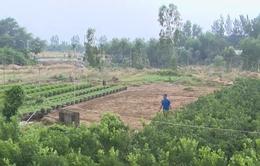 Nông dân Phú Yên loay hoay tìm đất trồng hoa Tết