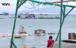 Nỗ lực khôi phục vùng nuôi tôm hùm Phú Yên sau bão