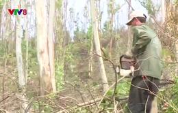 Sau bão, gỗ rừng trồng đem làm... củi đốt