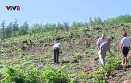 Phú Yên: Linh hoạt xử lý vụ người dân trồng cây lâm nghiệp trên đất nông nghiệp