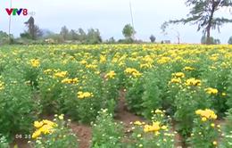 Thảm hoa vàng sau những ngày bão lũ