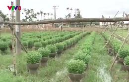 Nông dân vùng trồng hoa Quảng Ngãi thấp thỏm sợ lũ
