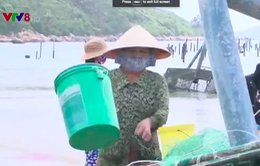 Cảnh báo hiện tượng ngọt hóa ở vùng nuôi tôm hùm