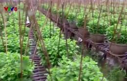 Kinh nghiệm trồng hoa vượt lũ tại Thừa Thiên - Huế