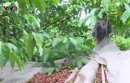 Lâm Đồng thiếu nhân công thu hoạch cà phê