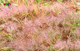 Đà Lạt: Lung linh mùa cỏ hồng