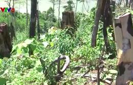 Quảng Nam: Khai trừ Đảng, cách chức cán bộ trong vụ phá rừng Tiên Lãnh