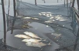 """Thừa Thiên - Huế: Cá nuôi chết hàng loạt, người dân """"trắng tay"""" sau lũ"""