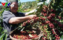 Giá cà phê tại Lâm Đồng giảm mạnh