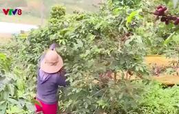 Tây Nguyên: Thiếu nhân công thu hoạch cà phê