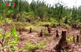 Sớm xét xử công khai vụ phá rừng ở Bình Định