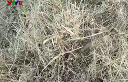 Phú Yên: Lạm dụng thuốc diệt cỏ để vệ sinh đồng ruộng
