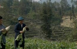 Củ cải nương Hà Giang được nhiều gia đình ưa chuộng