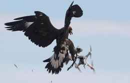 Huấn luyện đại bàng để hạ máy bay không người lái