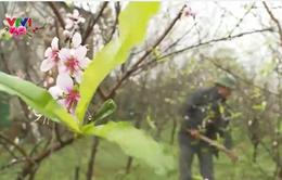 Nông dân Hà Tĩnh thất thu vụ hoa Tết