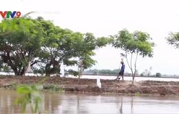 Đồng Tháp: Nông dân cày xới mặt đê bao tiền tỷ để canh tác