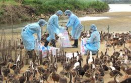Quảng Ngãi: Tiêu hủy 3.000 con gà nhiễm cúm A/H5N6