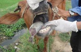 Phát hiện 2 ổ dịch lở mồm long móng tại Colombia