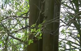 Hậu Giang: Xã nông thôn mới vẫn phải dùng điện câu đuôi