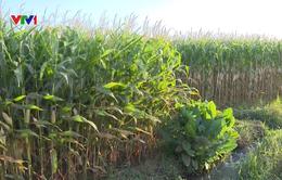 Khó mở rộng diện tích trồng ngô