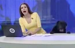 """Phấn khích vì được làm khách mời trên TV, chú chó này """"phá"""" luôn bản tin thời sự"""