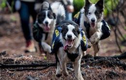 Chó giúp khôi phục rừng sau các đám cháy ở Chile