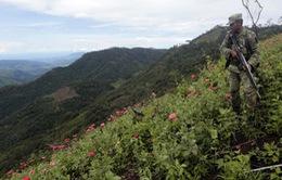 Mexico phát hiện cánh đồng thuốc phiện rộng 15 ha
