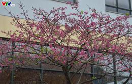 Nơi có hoa anh đào bung nở tự nhiên tuyệt đẹp tại Hà Nội