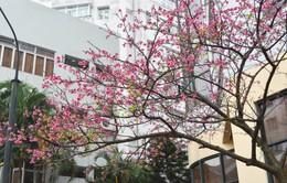 Sở Văn hóa Thể thao Hà Nội: Chỉ có một lễ hội hoa anh đào được chấp nhận