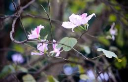 Ngắm hoa ban nở rộ dịp giáp Tết trên phố phường Hà Nội