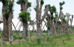 Cận cảnh hàng xà cừ cổ thụ Kim Mã sau hơn nửa năm đánh chuyển về vườn ươm
