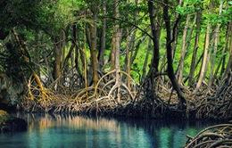 Rừng đước Cà Mau - Món quà vô giá của thiên nhiên