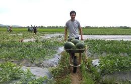 Nông dân Gia Lai thu lợi nhuận 200 triệu đồng/ha dưa hấu