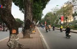 Hàng loạt cây xà cừ ở Hà Nội bị đục khoét