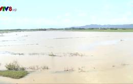 Nam Trung Bộ mất trắng vụ Đông Xuân do mưa bão