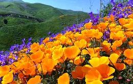Cánh đồng hoa dại tuyệt đẹp tại California, Mỹ