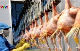 Gà Việt Nam được thị trường Nhật Bản ưa chuộng