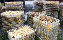 Gần 1.000 con giống gia cầm nhập lậu bị bắt giữ tại Cao Bằng