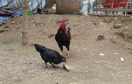 Độc đáo gà 6 cựa Mẫu Sơn, Lạng Sơn