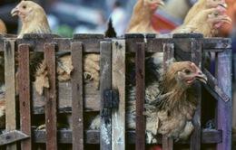 Trung Quốc: Thủ phủ tỉnh Giang Tây cấm kinh doanh gia cầm sống