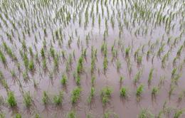 Gạo Việt trên đồng Vĩnh Hưng