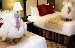 Hai chú gà tây đặc biệt của lễ Tạ ơn tại Nhà Trắng