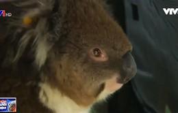 Australia: Chú gấu kaola sống sót qua hành trình 16 km