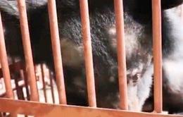 Hành trình hơn 1.600km cứu hộ thành công 9 cá thể gấu