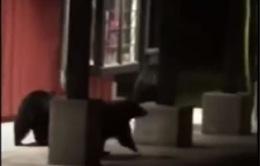 Cảnh sát bắt giữ gấu trong khu vực mua sắm tại California (Mỹ)