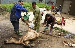 Kéo dài tình trạng gia súc chết hàng loạt tại Ninh Thuận