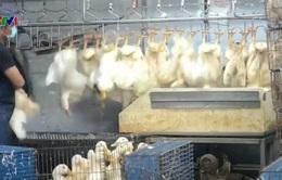 Tỉnh Chiết Giang, Trung Quốc cấm mua bán gia cầm sống