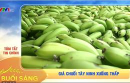 Giá chuối Tây Ninh xuống thấp