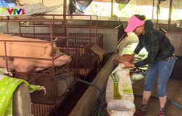 Người chăn nuôi đứng trên bờ vực phá sản do giá lợn thấp